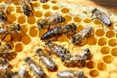 Королева пчел с пчелами на гребнях стоковые фотографии rf
