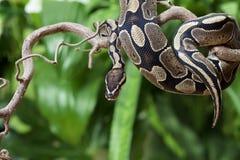 Королевская змейка питона на деревянной ветви Стоковая Фотография