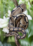Королевская змейка питона Стоковое Изображение