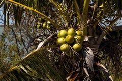 Королевская пальма с кокосами связала среди fronds ладони Стоковая Фотография RF