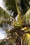 Королевская пальма с кокосами связала среди fronds ладони Стоковые Изображения