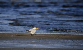 Королевская птица тройки на пляже, Hilton Head Island Стоковая Фотография RF