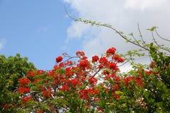 Королевские цветения Poinciana в дереве Стоковые Фотографии RF