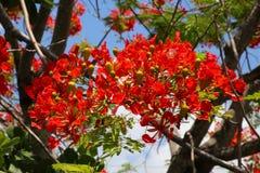 Королевские цветения Poinciana в дереве Стоковая Фотография RF