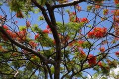 Королевские цветения Poinciana в дереве Стоковое Изображение RF