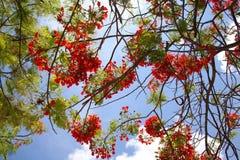 Королевские цветения Poinciana в дереве Стоковое Изображение