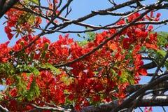 Королевские цветения Poinciana в дереве Стоковые Изображения
