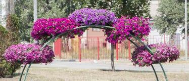 Королевские цветки пеларгонии - grandiflorum пеларгонии Стоковая Фотография