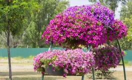 Королевские цветки пеларгонии - grandiflorum пеларгонии Стоковое Изображение