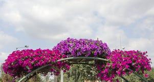 Королевские цветки пеларгонии - grandiflorum пеларгонии Стоковые Изображения RF