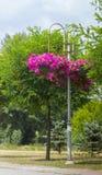 Королевские цветки пеларгонии - grandiflorum пеларгонии Стоковое фото RF