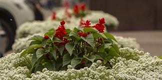 Королевские цветки пеларгонии - grandiflorum пеларгонии Стоковые Изображения