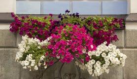 Королевские цветки пеларгонии - grandiflorum пеларгонии стоковое изображение rf