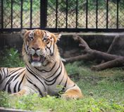 Королевский тигр Бенгалии раскрывая свой рот стоковые изображения rf