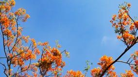 Королевский цветок дерева или павлина Poinciana или цветок пламени против с голубого неба, лета цветка Таиланда Стоковые Изображения