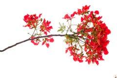королевский цветок poinciana, красный цветок изолированный на белой предпосылке Стоковые Фото