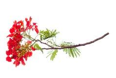 Королевский цветок poinciana, красный цветок изолированный на белой предпосылке Стоковая Фотография