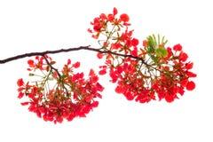 Королевский цветок poinciana, красный цветок на белизне Стоковая Фотография