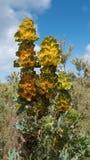Королевский hakea, национальный парк реки Fitzgerald, западная Австралия стоковые изображения