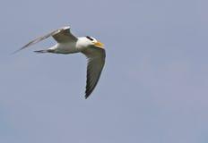 Королевский Tern в полете Стоковые Изображения RF