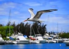 Королевский Tern Стоковые Изображения RF