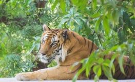 Королевское усаживание тигра Бенгалии стоковое фото