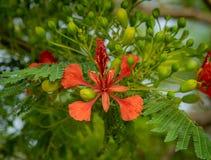 Королевское poinciana зацветая на дереве стоковая фотография rf