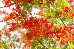 Королевское Poinciana или цветистое дерево Стоковая Фотография