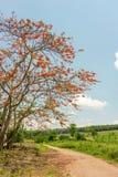 Королевское Poinciana или цветистое дерево Стоковые Фотографии RF