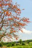 Королевское Poinciana или цветистое дерево Стоковое Изображение RF