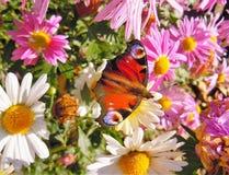 Королек в crusantemums садовничает, солнечный полдень стоковые изображения