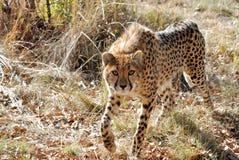 король гепарда Стоковые Изображения