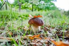 Король грибов - подосиновик edulis, гриб porcini в передней части Стоковое Изображение RF