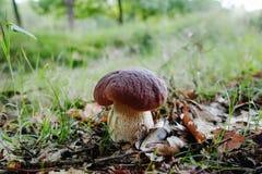 Король грибов - подосиновик edulis, гриб porcini в передней части Стоковые Фотографии RF