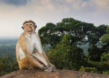 Король джунглей, обезьяны макаки на руинах в Шри-Ланке Стоковое Фото