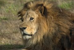 король зверей Стоковые Фотографии RF