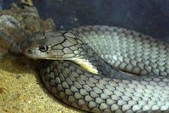 Король кобра Стоковое Фото