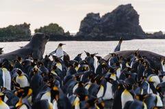 Король пингвины на гавани золота стоковое фото