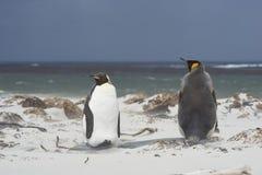 Король пингвины на острове морского льва стоковое фото rf