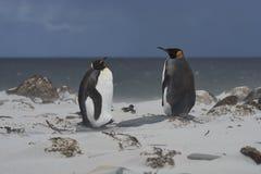 Король пингвины на острове морского льва стоковые изображения rf