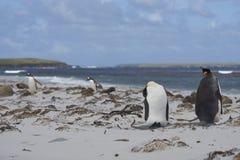 Король пингвины на острове морского льва стоковое изображение