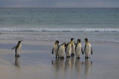 Король пингвины на Фолклендских островах Стоковое фото RF