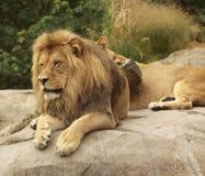 король пущи Стоковое Изображение RF