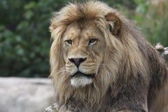 король пущи Стоковое Фото