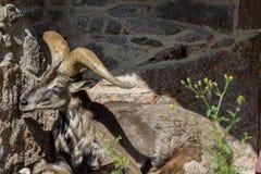 Король скалистых гор Кавказа, восточный азиат Tur Стоковые Изображения