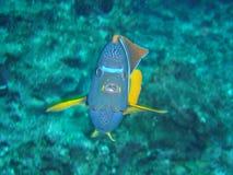 король angelfish Стоковое Изображение