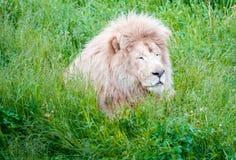 Король Emerging льва от высоких трав стоковые изображения