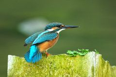 король fisher Стоковые Фотографии RF
