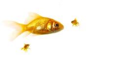 король goldfish Стоковые Фотографии RF