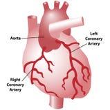 Коронарные артерии сердца иллюстрация вектора